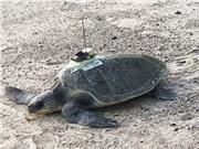 Dùng rùa biển để dự đoán sự thay đổi nhiệt độ đại dương