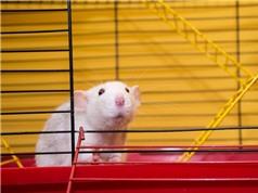 Vai trò của chuột đối với khoa học