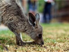 Một tỷ động vật đã chết sau các vụ cháy ở Úc