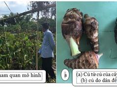 Hộị thảo Đánh giá đặc tính sinh trưởng và năng suất của cây khoai môn được trồng từ củ của cây cấy mô và củ do dân để giống tại huyện Chợ Mới, An Giang