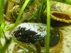 Nuôi nhuyễn thể và rong biển để thúc đẩy phục hồi hệ sinh thái