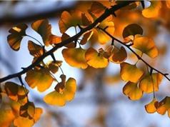 Khám phá bí quyết giúp cây bạch quả sống được hơn 1.000 năm