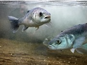Giảm tỷ lệ cá nuôi chết bằng dinh dưỡng bổ sung từ tảo biển