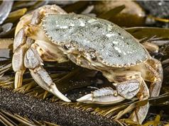 Tình trạng axit hóa đại dương khiến vỏ cua bị phân hủy