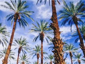 Trồng cây chà là cổ từ hạt giống 2,000 năm tuổi