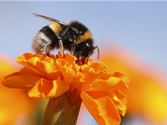 Nhiều loài ong nghệ sắp tuyệt chủng hàng loạt