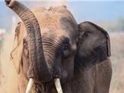 Đập thủy điện của Trung Quốc cô lập voi châu Á