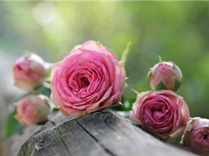 Mùi hương hoa hồng giúp ghi nhớ và học bài tốt hơn