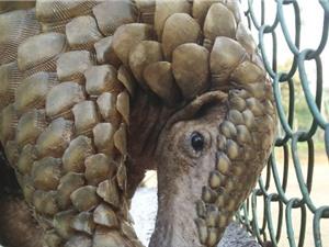 Buôn lậu đẩy tê tê đến bờ vực tuyệt chủng