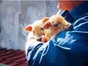 Dịch tả lợn châu Phi: Chưa dễ có vaccine