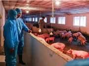 """Vaccine vô hoạt phòng bệnh dịch tả lợn châu Phi: """"Chiếc cọc cho người chết đuối"""""""