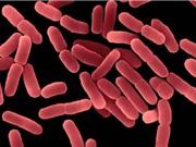 Phân lập thành công lợi khuẩn Bacillus subtilis thuần khiết về mặt sinh học
