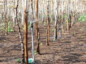Ninh Thuận áp dụng mô hình tưới nước tiết kiệm ứng phó với khô hạn