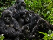 Virus corona có thể đe dọa tính mạng các loài vượn lớn