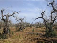 Châu Âu và nỗ lực giải cứu cây ô liu khỏi dịch bệnh