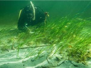 """Cỏ biển - """"bể chứa carbon"""" chống biến đổi khí hậu"""
