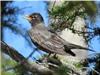 Chim Cổ Đỏ Mỹ di trú sớm do băng tan
