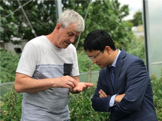 Cây diêm mạch (quinoa) - triển vọng mới cho các vùng hạn, mặn Việt Nam