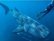 Định tuổi cá mập voi bằng đồng vị phóng xạ