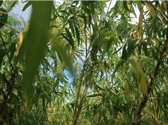Hoạt chất chữa ung thư từ vỏ cây liễu