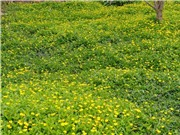 Bột tắm từ cây đơn đất: Đánh thức tiềm năng một loài dược liệu quý