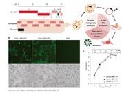 Tái tạo nhanh virus SARS-CoV-2 bằng phương pháp sử dụng nấm men