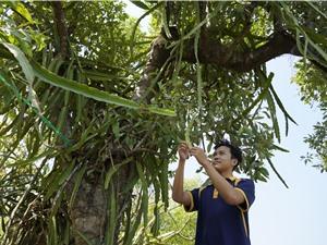 Thanh long kết trái trong rừng ngập mặn