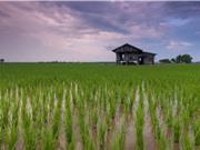 Hiện tượng hạ nhiệt toàn cầu hơn 4000 năm trước khiến cây lúa nhân rộng khắp châu Á