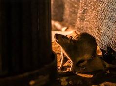 """""""Thảm họa"""" mới ở New York: Chuột ăn thịt đồng loại vì quá đói, cả ô tô cũng trở thành """"mồi nhắm"""""""