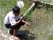 Hoa Sĩ Hiền: Người lai tạo giống lúa chịu mặn 5 phần ngàn