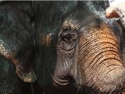 Buôn bán ngà voi bất hợp pháp chuyển từ Trung Quốc sang Campuchia