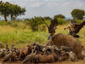 Kền kền đứng trước nguy cơ tuyệt chủng
