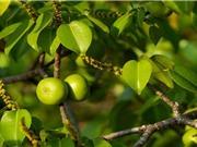 Manchineel: Loài cây nguy hiểm nhất thế giới