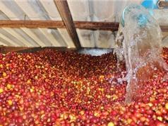 Phương pháp sinh học xử lý quả cà phê tươi: Tiết kiệm 5-10 lần thời gian, chi phí