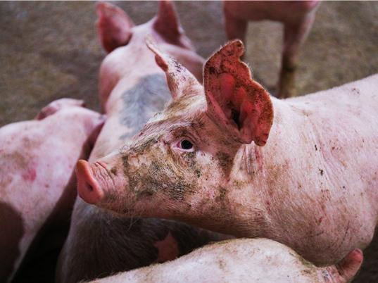 """""""Thuế thịt"""" có thể lên đến 11 tỉ USD"""