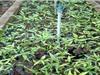 Thanh Hóa: Nhân giống thành công 7.600 cây rau sắng quý