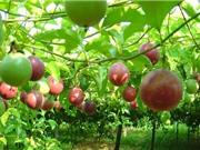 Sẽ xây dựng đề án phát triển chanh leo và xây dựng bộ tiêu chuẩn VN về giống chanh leo