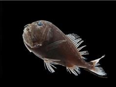 Lớp da siêu đen, không phản xạ ánh sáng của những loài cá sống sâu dưới đại dương