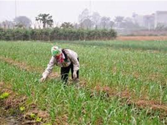 Tỏi An Thịnh, Bắc Ninh được bảo hộ chỉ dẫn địa lý