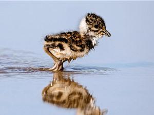 Nóng lên toàn cầu thu hẹp cơ hội sống sót của chim non
