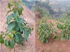 Viện Nghiên cứu và Phát triển Vùng triển khai trồng thử nghiệm một số dòng, giống bơ trong nước và nhập nội tại tỉnh Lạng Sơn