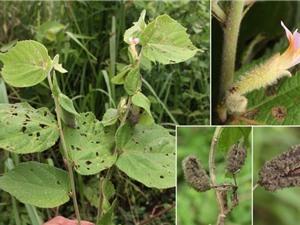 Phát hiện 3 loài thực vật mới thuộc họ Bông và Cà phê ở Tây Nguyên
