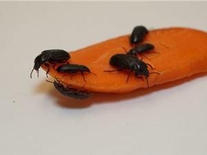 Từ bọ nhỏ tới bọ lớn