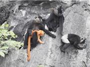 ĐHQGHN nghiên cứu bảo tồn loài Voọc mông trắng ở miền Bắc Việt Nam