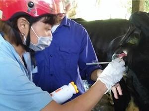 Kem nano bạc trị bệnh viêm vú ở bò