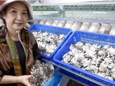 Sản xuất nấm bào ngư ôn đới quy mô công nghiệp rút ngắn một nửa thời gian thu hoạch