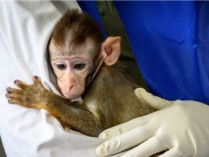 Mỹ thiếu hụt khỉ để nghiên cứu vaccine Covid-19
