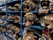 Việt Nam trở thành trọng điểm buôn lậu các bộ phận của hổ và sừng tê giác