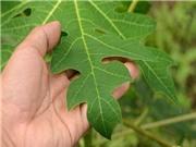 Sản xuất hỗn hợp alkaloit từ lá đu đủ hỗ trợ điều trị bệnh ung thư