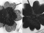Các loài hoa đổi màu để ứng phó với biến đổi khí hậu